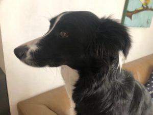 המטומה באפרכסת האוזן בכלב