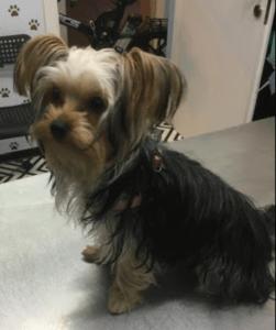 שאנט (Shunt) בכבד בכלבים